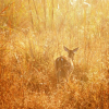 "Thumbnail image for A Perfect Poem? ""The Doe"" by C. K. Williams"